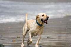 Dog on Beach Royalty Free Stock Photos