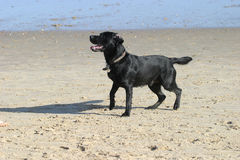 Dog on beach Stock Photography