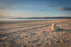 Dog on beach alone enjoying morning walk. Dog on deserted beach alone enjoying morning walk at sunrise in Dorset, England Royalty Free Stock Photos