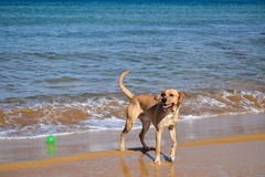 Dog on the beach with a ball Royalty Free Stock Photography