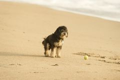 Dog on Beach with Ball Royalty Free Stock Photo