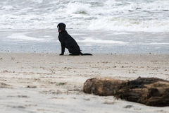 Dog on Beach. A black labrador retriever gazes out at the waves along the beach in Kure Beach, North Carolina Royalty Free Stock Photo
