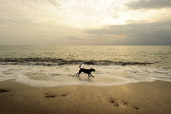 Dog Beach. Is a black dog running along the sandy beach with a bright cloudy sky in the background stock photo