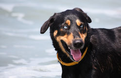 Dog on Beach with Blue Eyes Stock Images