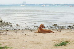 A dog on the beach Royalty Free Stock Photo