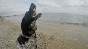 Dog on the beach catching a piece of food stock video