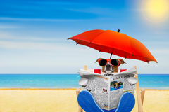 Dog beach chair. Jack russell dog reading newspaper on a beach chair or hammock with sunglasses under umbrella , on summer vacation holidays stock images