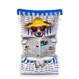 Dog beach chair. Dog reading newspaper on a beach chair with sunglasses and yellow hat , isolated on white background royalty free stock photography