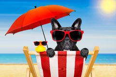 Dog beach chair in summer. French bulldog dog on a beach chair or hammock at the beach relaxing on summer vacation holidays, ocean shore as background , with red stock photos