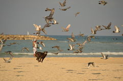 The dog on the beach chasing birds. The dog on the beach against the blue sea runs for the birds a bright Sunny day royalty free stock photography