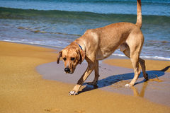Dog on the beach close-up Royalty Free Stock Photo