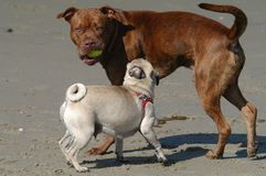 Dog Beach on Coronado Bay, San Diego, CA. Dogs and owner playing fetch at Dog Beach stock photos