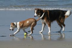 Dog Beach on Coronado Bay, San Diego, CA. Dogs and owner playing fetch at Dog Beach royalty free stock image