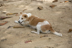 Dog at the beach. Stock Photography