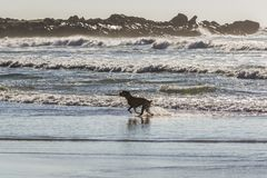Dog on the beach. Dog on a beach in Porto city, Portugal royalty free stock image