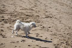 Dog in the beach Royalty Free Stock Photos