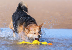 Dog playing in water on the beach Stock Images
