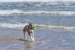 Dog and beach fun Royalty Free Stock Photo