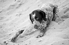 Dog on the beach, german pointer Stock Images