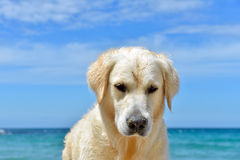 Dog on the beach - golden retriever Royalty Free Stock Image