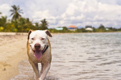 Dog at the beach. Happy dog walking through the beach Stock Photography