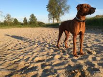 Dog on beach long shadow Royalty Free Stock Photo