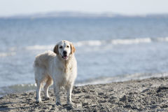 Dog on a beach looking at the camera. Stock Photography