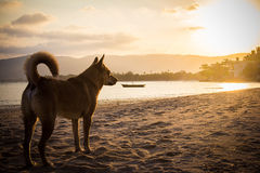 Dog on beach looking sunset. Stock Images