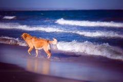 Dog on the beach-Mitko. Golden retriever. Golden Retriever playing on the beach. Bulgaria stock image