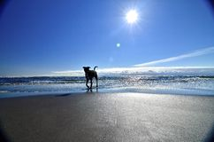 Dog on the beach. Oregon coast doggy play time Royalty Free Stock Photo