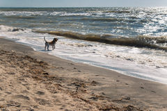 Dog on the beach. Dog owner looks to the sea stock images