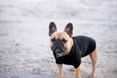Dog on the beach pictures. Dogs on the Beach, summer time, bulldog french, little dog, dog fachion, dog sweater Royalty Free Stock Photos