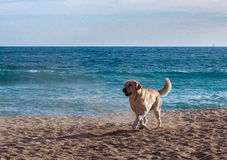 Dog on the beach royalty free stock photo