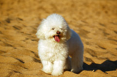 Dog at beach (poodle) Stock Photo