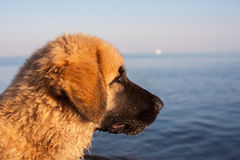 Dog on the beach. Portrait of a dog on the background of the Gulf of Finland Royalty Free Stock Photography