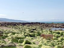 Dog on the beach with rocks and green seaweed stock photo