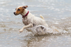 Dog Beach Run Royalty Free Stock Photo