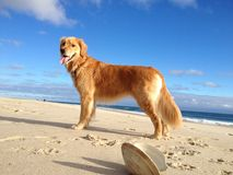 Dog on Beach Stock Images