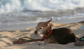 Dog at beach with sandla. Dog relaxes at beach with sandal Royalty Free Stock Photo