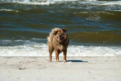 The dog on the beach with the sea surf on the background Stock Photos