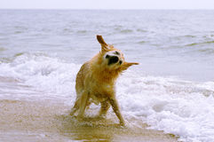 Dog on the beach shaking Royalty Free Stock Photo