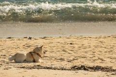 Dog on the beach. shiba inu royalty free stock photography