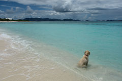 Dog on beach, Shoal Bay West, Anguilla Stock Photography