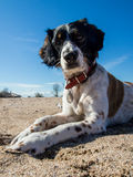 Dog on the Beach. During  summer holiday Stock Photos