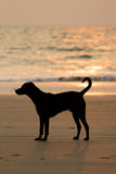 Dog on the beach at sunset Stock Images