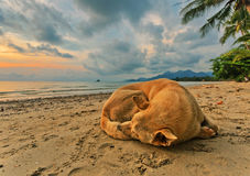 Dog on the beach at sunset Stock Photography