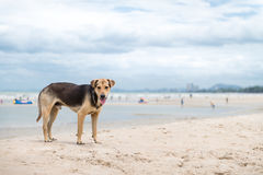 A dog on the beach Royalty Free Stock Image