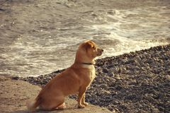 Dog on the beach. Watching the waves. On the Sunset Royalty Free Stock Photo