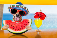 Dog at the beach and watermelon. Funny chihuahua dog drinking cocktail at the bar in a beach club party with ocean view on summer vacation holidays, eating a royalty free stock photos