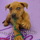 Dog with beads royalty free stock image
